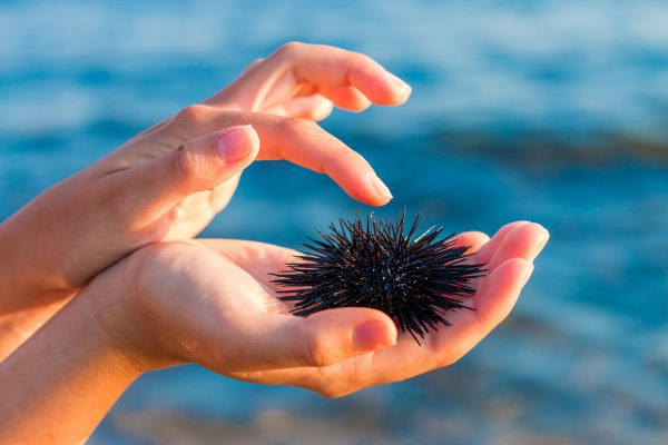 urchin measuring content